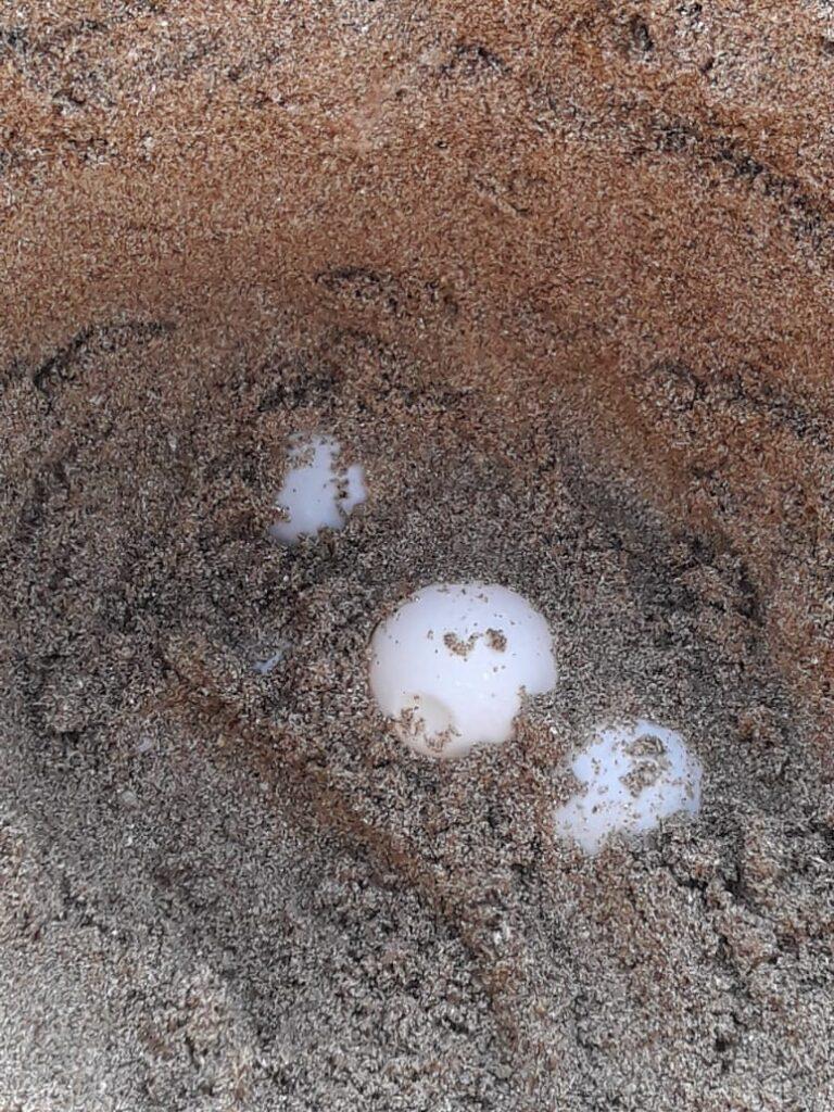 Nest of Caretta Caretta at Tyte Coast Nature Reserve, June 2020_4